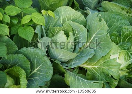 fresh green cabbage head on vegetable garden - stock photo