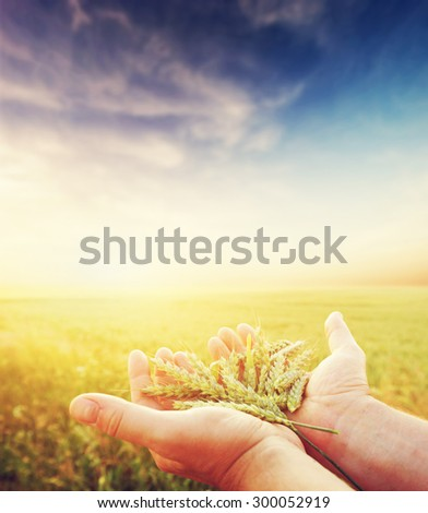 Fresh green cereal, grain in farmer's hands. Agriculture, harvest concept. Wheat, rye field. - stock photo