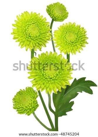 Fresh green chrysanthemum flowers isolated on white - stock photo