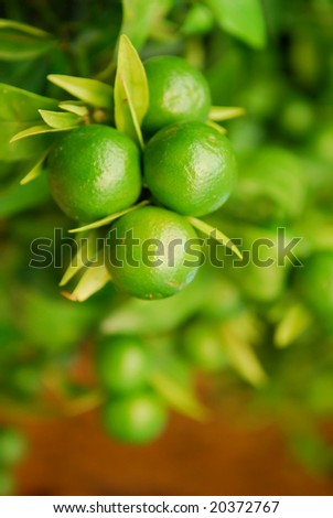 Fresh green citrus fruit on a tree with shallow dof - stock photo