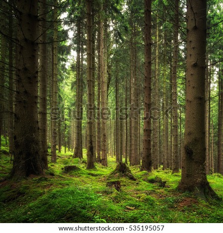 Fresh green Coniferous forest