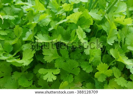 fresh green coriander leaves vegetable in a garden - stock photo