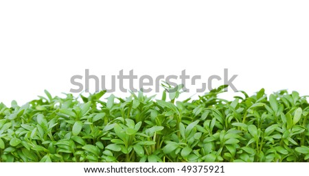Fresh green cress isolated on white background - stock photo