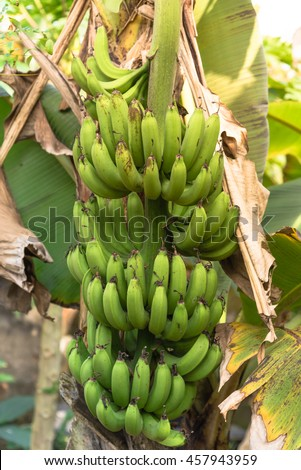 Fresh green cultivated banana hang on tree at an organic farm in Thai Binh, Viet Nam. Banana tree with a bunch of growing ripe bananas at sunset. Great for agricultural plantation publication concept.