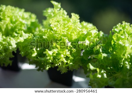 Fresh green curly salad Lolo Biondo in pots. Supply of vitamins for the body and miniralov - stock photo