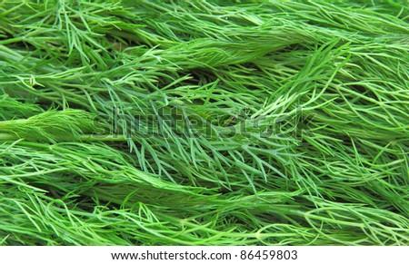 Fresh green dill - stock photo