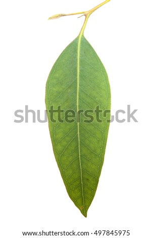 fresh green eucalyptus, young branch isolated on white background