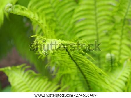 Fresh green fern leaves - stock photo