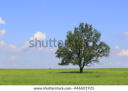 Fresh green field of juvenille grain and lonely deciduous tree in early summer,Podlasie region,Poland,Europe