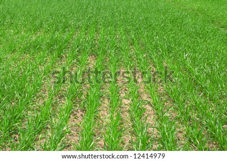 Fresh green field with rows of little plants.