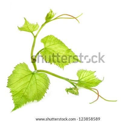 Fresh Green Grape Leaf isolated on white background - stock photo