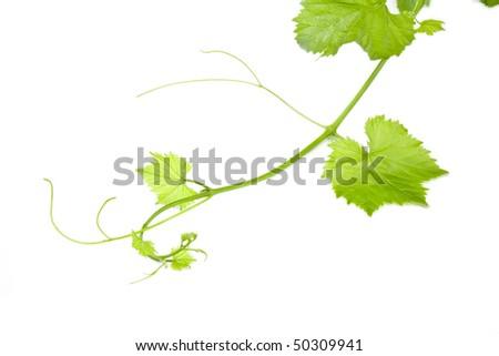 Fresh Green Grape Leaf on isolated white Background - stock photo