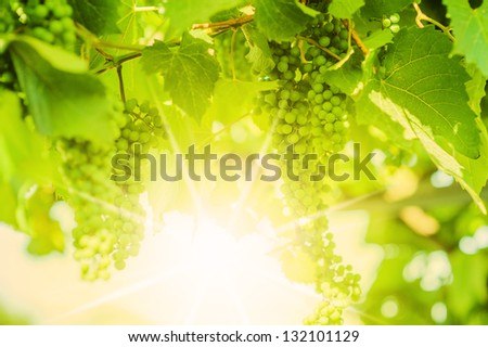 Fresh Green grapes on vine. Summer sun lights. Defocus picture - stock photo
