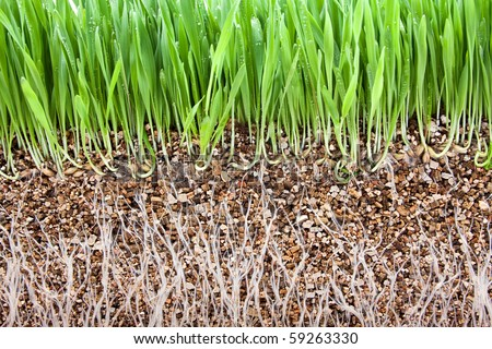Fresh green grass and grass root  growing vermiculite - stock photo