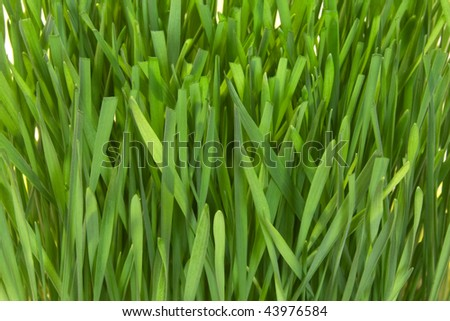 Fresh green grass  close up