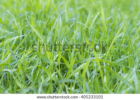 Fresh green grass close up in spring - stock photo