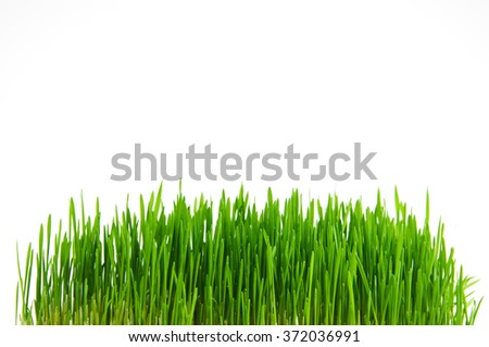 Fresh green grass on a white background with copy space. Spring green stalks of a grass. - stock photo