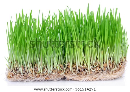 Fresh green grass sprouted grains with roots isolated on white background. - stock photo