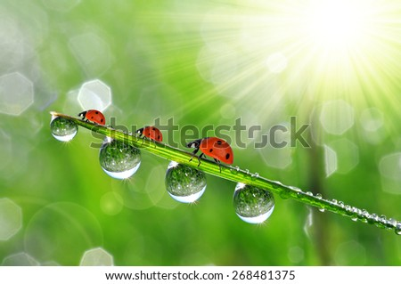 Fresh green grass with dew drops and ladybirds closeup - stock photo
