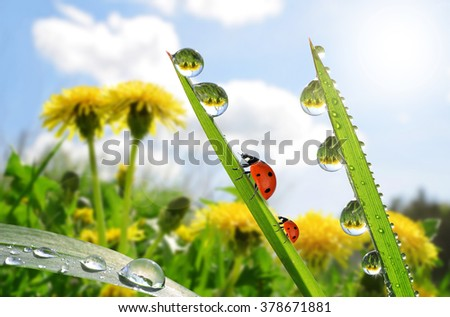 Fresh green grass with dew drops and ladybugs. Nature Background - stock photo