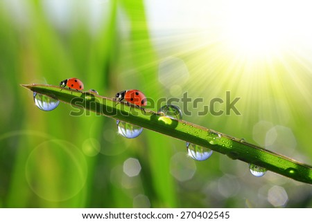 Fresh green grass with morning dew and ladybirds. Nature background. - stock photo