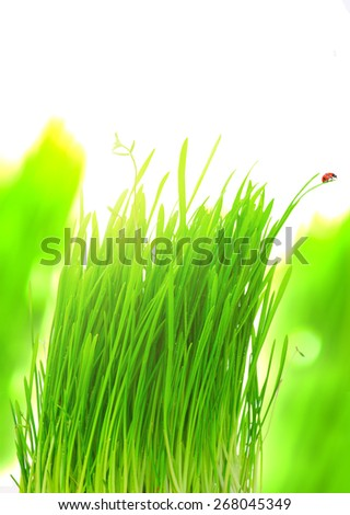 Fresh green grass with water drops and ladybug close up at sunset. - stock photo