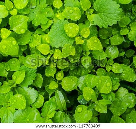 Fresh green grass with water drops closeup - stock photo