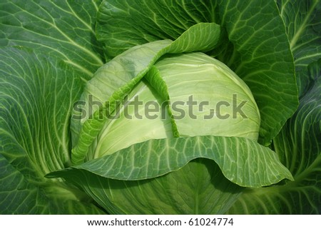 Fresh green head of cabbage can be used as background - stock photo