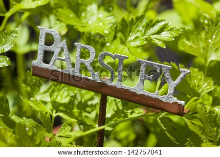 Fresh Green Herbal Parsley Leaves in a Garden - stock photo