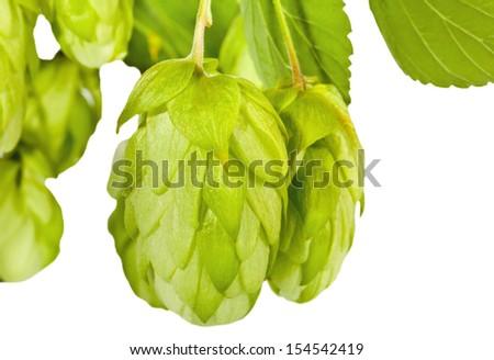 Fresh green hop branch closeup - stock photo