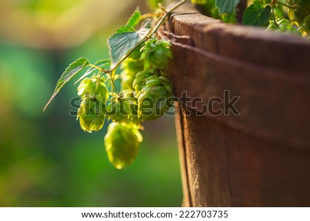 Fresh green hops on a old wooden barrel - stock photo