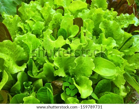 Fresh green Iceberg lettuce background backdrop healthy veggie vegetable - stock photo