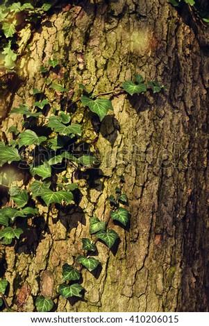 Fresh, green ivy growing on an oak tree trunk.  - stock photo
