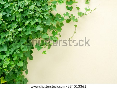 fresh green ivy plant on concrete wall background