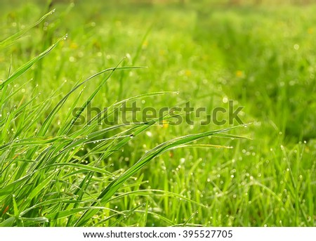 fresh green juicy grass dewdrops sparkling in the dawn sun. Springtime. Summer. In the meadow. blurred image in the background of grass and flowers.  - stock photo