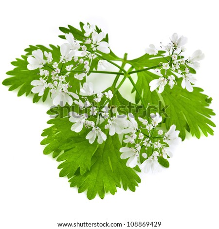 fresh green leaf cilantro coriander  blossom close up isolated on white background - stock photo
