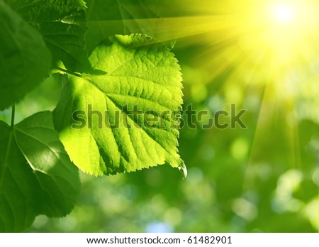 fresh green leaf of linden tree glowing in sunlight