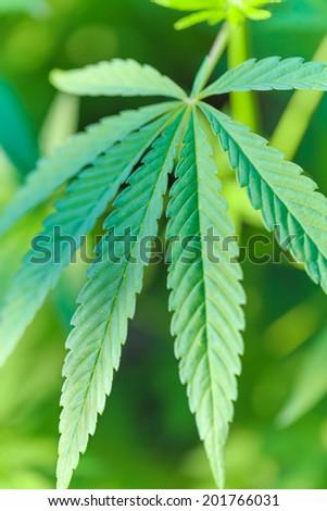 Fresh green leaf of marijuana hemp.  Narcotic and medicine plant - stock photo