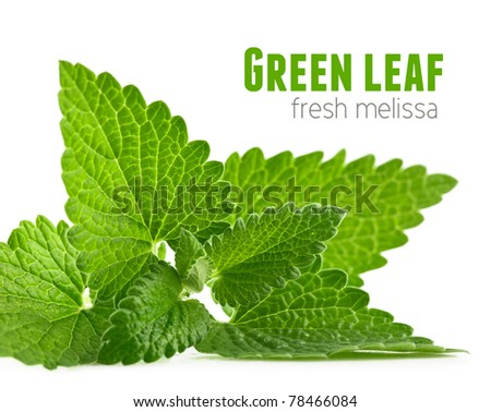 fresh green leaf of melissa