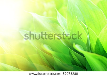 Fresh green leaves, lily of the valley. - stock photo