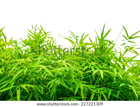 fresh green leaves natural bamboo with raindrops isolated on a white background with copy space - stock photo