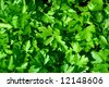 Fresh green leaves of a parsley - stock photo
