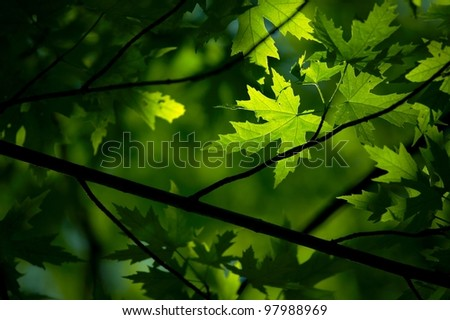 Fresh green leaves of a tree - stock photo