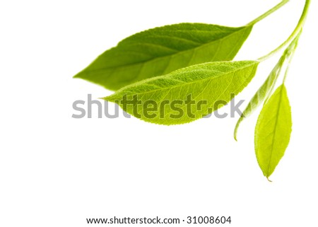 Fresh green leaves of an apple tree - stock photo