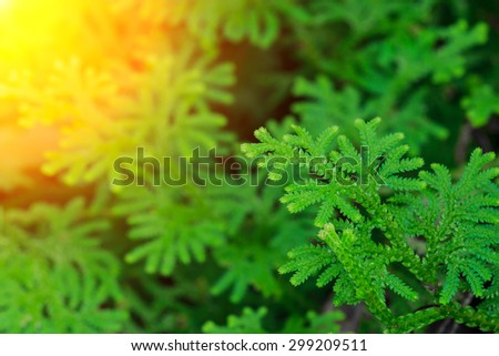 Fresh green leaves of tropical fern for background - stock photo