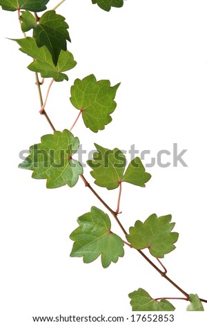 Fresh green leaves on red vine, isolated