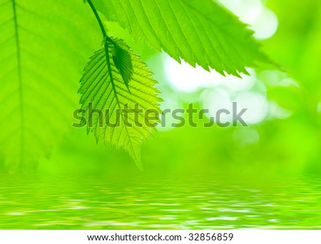 Fresh green  leaves reflect in a water