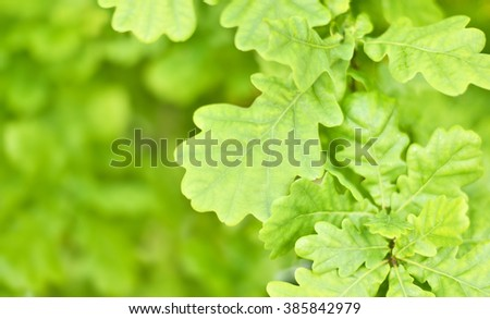 fresh green leaves with copy space. Green oak leaves in the sun with selective focus and defocused background. Nature background in spring. - stock photo