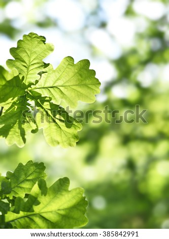 fresh green leaves with copy space. Green oak leaves in the sun with selective focus and defocused background. Nature background in spring.