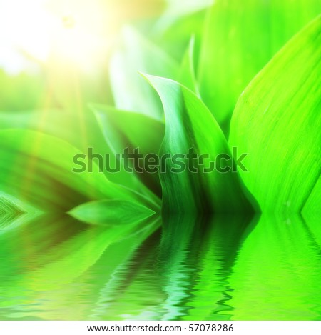 Fresh green leaves with drops of water, lily of the valley. - stock photo